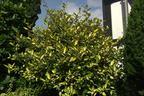 Videovorschau - Buntlaubige Ölweide - Elaeagnus pungens 'Maculata'