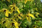 Videovorschau - Clematis 'Golden Harvest' - Clematis tangutica 'Golden Harvest'