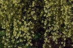 Videovorschau - Elfenbein-Ginster - Cytisus praecox
