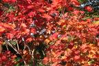 Videovorschau - Fächerahorn - Acer palmatum