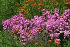 Videovorschau - Flammenblume 'Rosalinde' - Phlox maculata 'Rosalinde'
