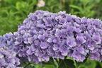 Videovorschau - Gefüllte Ballhortensie You & Me 'Together' ® - blau - Hydrangea macrophylla You & Me 'Together' ® - blau