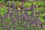 Videovorschau - Großblütige Katzenminze 'Pool Bank' - Nepeta grandiflora 'Pool Bank'
