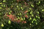 Videovorschau - Herbstbirne 'Köstliche von Charneux' - Pyrus communis 'Köstliche von Charneux'