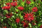 Videovorschau - Indianernessel 'Jacob Cline' - Monarda fistulosa 'Jacob Cline'