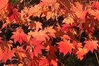 Videovorschau - Japanischer Ahorn 'Vitifolium' - Acer japonicum 'Vitifolium'