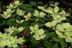 Videovorschau - Japanischer Blumen-Hartriegel 'Venus' ® - Cornus kousa 'Venus' ®