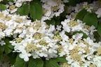 Videovorschau - Japanischer Schneeball 'Mariesii' - Viburnum plicatum 'Mariesii'