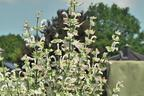 Videovorschau - Muskateller Salbei 'Vatican White' - Salvia sclarea var. turkestanica 'Vatican White'