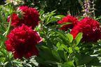 Videovorschau - Frühblühende Pfingstrose 'Red Charme' - Paeonia x hybrida 'Red Charm'