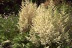 Videovorschau - Prachtspiere 'Younique White' ® - Astilbe japonica 'Younique White'  ®