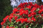 Videovorschau - Rhododendron 'Scarlet Wonder' - Rhododendron repens 'Scarlet Wonder'