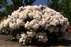 Videovorschau - Rhododendron 'Schneekissen' - Rhododendron yakushimanum 'Schneekissen'