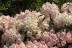 Videovorschau - Rhododendron 'Yaku Queen' - Rhododendron yakushimanum 'Yaku Queen'