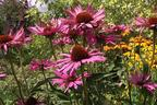 Videovorschau - Rotblühender Scheinsonnenhut 'Magnus' - Echinacea purpurea 'Magnus'
