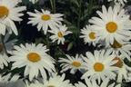Videovorschau - Sommer Margerite - Leucanthemum maximum