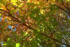 Videovorschau - Spitzahorn - Acer platanoides