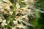Videovorschau - Strauchkastanie - Aesculus parviflora