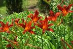 Videovorschau - Taglilie 'Crimson Pirate' - Hemerocallis x cultorum 'Crimson Pirate'