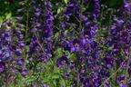Videovorschau - Verzweigter Rittersporn 'Bellamosum' - Delphinium x belladonna 'Bellamosum'