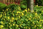 Videovorschau - Waldsteinie, Golderdbeere - Waldsteinia geoides