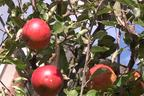 Videovorschau - Herbstapfel 'Cox Orange' Renette - Malus 'Cox Orange' Renette