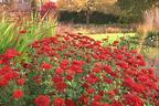 Videovorschau - Winteraster 'Brockenfeuer' - Chrysanthemum x hortorum 'Brockenfeuer'