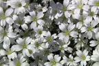 Videovorschau - Zwerg Hornkraut / Silber Hornkraut - Cerastium tomentosum