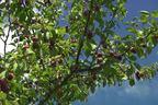 Videovorschau - Zwetsche 'Hauszwetsche' - Prunus 'Hauszwetsche'