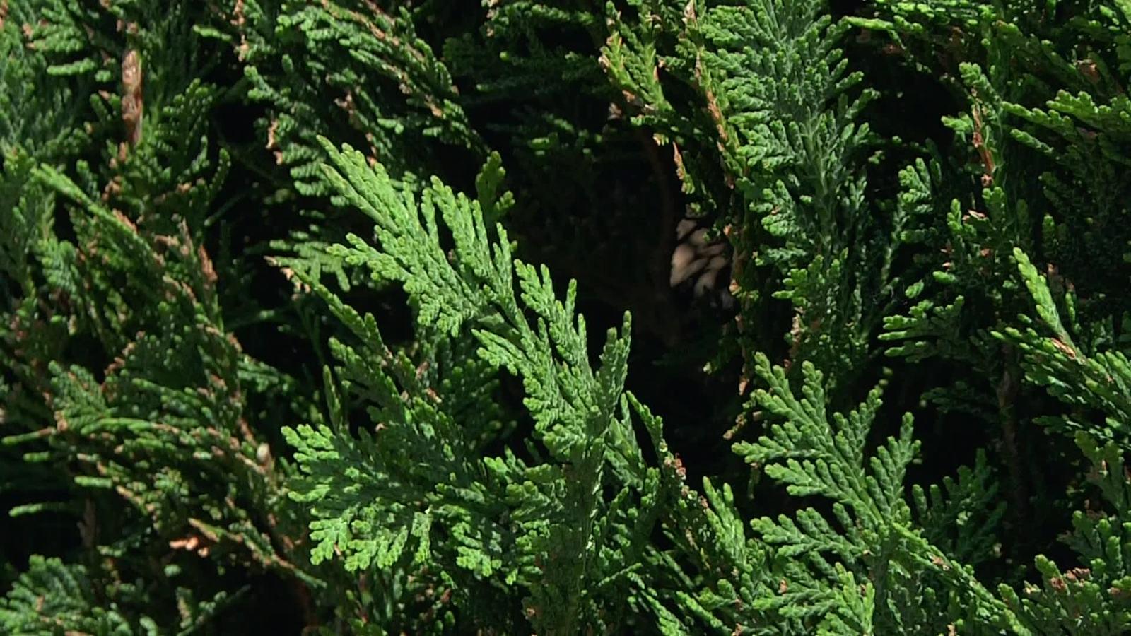 blaue säulenzypresse 'columnaris' / scheinzypresse 'columnaris