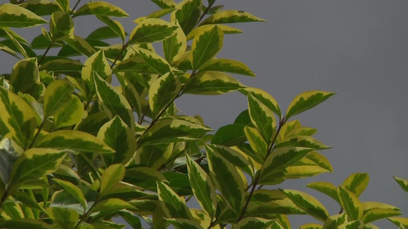 Goldliguster Aureum Ligustrum ovalifolium Aureum