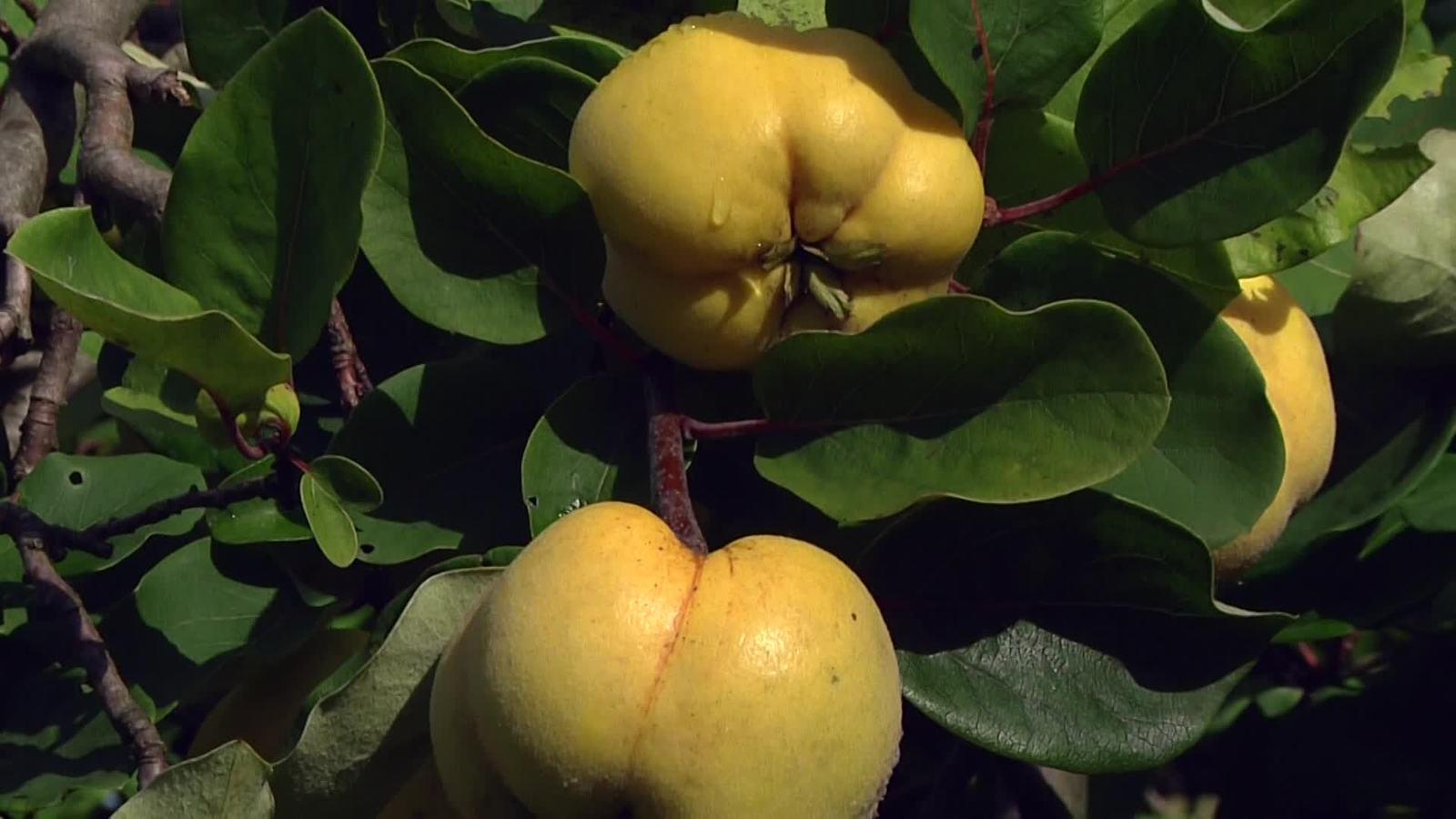 Quitte Cydonia oblonga Pflanze 50cm Quittenbaum Apfelquitte essbare Fr/üchte
