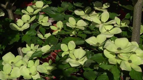 Japanischer Blumen-Hartriegel \'Venus\' ® - Cornus kousa \'Venus ...
