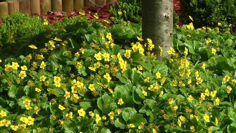 bodendecker immergrün sonniger standort: frauenmantel alchemilla, Garten Ideen